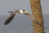 Greater Crested Tern  Goa