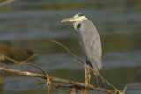 Grey Heron Goa