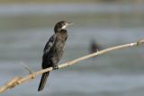 Indian Cormorant  Goa