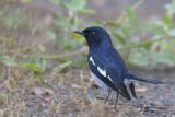 Oriental Magpie Robin   Goa