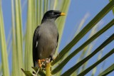 Jungle Mynah Goa_002.jpg