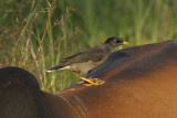 Jungle Mynah Goa_020.jpg