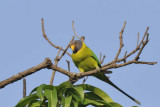 Plum Headed Parakeet  Goa