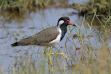 Red-wattled Lapwing    Goa