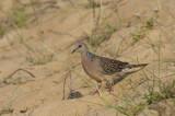 Spotted Dove  Goa