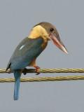Stork Billed Kingfisher  Goa