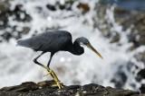 Western Reef Egret  Goa