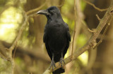 Large Billed (Jungle) Crow  Goa