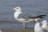 Yellow Legged Gull  Goa