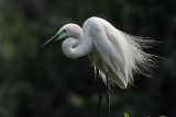 Great White Egret  Kerala