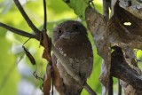 Sri Lankan Frogmouth  Kerala