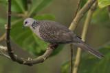 Spotted Dove  Kerala