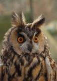 Long Eared Owl  Isle of May,Scotland