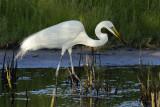 Great White Egret  Mida Creek nr Watamug