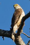 Little Sparrowhawk  Tsavo West NP