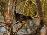 Sardinian Warbler  Elounda,Crete