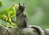 Grey Squirrel  Llandudno