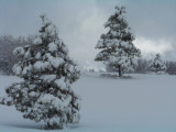 More pines in a field of snow