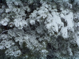 Snow/ice in a pine tree