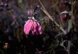 pink frosty flower.jpg