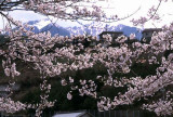 cherry blossoms chuo alps.jpg