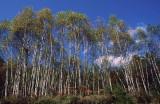 kaida trees.jpg