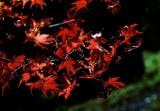red maples.jpg
