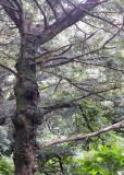 cheju tree.jpg