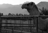 bull at dawn.jpg