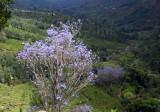 violet blossoms.jpg