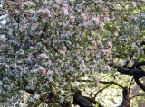 blossom flurry.jpg