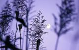 cattail moon.jpg