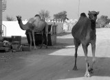 rogue camels.jpg