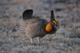 Greater Prairie Chicken  0411-3j  Wray, CO
