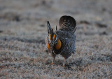 Greater Prairie Chicken  0411-7j  Wray, CO