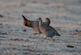 Greater Prairie Chicken  0411-5j  Wray, CO