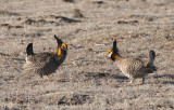 Greater Prairie Chicken  0411-22j  Wray, CO