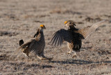 Greater Prairie Chicken  0411-23j  Wray, CO