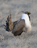 Greater Sage Grouse  0411-11j  Walden, CO