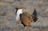 Greater Sage Grouse  0411-4j  Walden, CO
