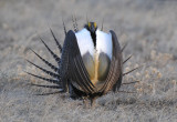 Greater Sage Grouse  0411-8j  Walden, CO