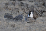 Greater Sage Grouse  0411-12j  Walden, CO