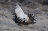 Greater Sage Grouse  0411-14j  Walden, CO