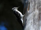 Hairy Woodpecker Female at Nest  0611-2j   Rimrock Lake