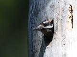 Hairy Woodpecker 0611-4j   Rimrock Lake