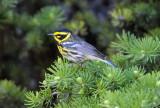 Townsend's Warbler 0711-10j  Bethel Ridge
