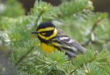 Townsend's Warbler 0711-8j  Bethel Ridge