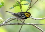 Golden-cheeked Warbler  0412-4j  Bandera County, TX