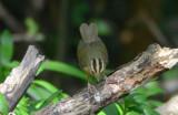 Worm-eating Warbler  0412-6j  High island, TX
