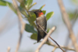 Ruby-throated Hummingbird  0412-3j  Mustang Island, TX